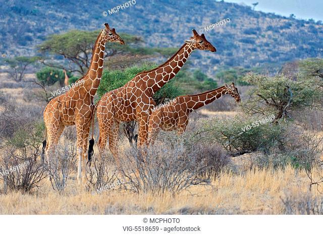 Reticulated giraffs (Giraffa camelopardalis reticulata) in Samburu National Reserve, Kenya. - 03/08/2007