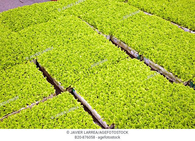 Lettuces in greenhouse, Nuarbe, Azpeitia, Gipuzkoa, Basque Country, Spain