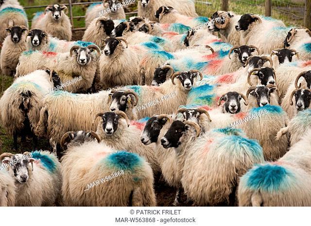 Sheeps at Torr Head near Ballycastle, antrim, Ireland