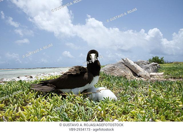 yelow-footed Booby (Sula leucogaster ) mom in nest, , Los Roques National Park