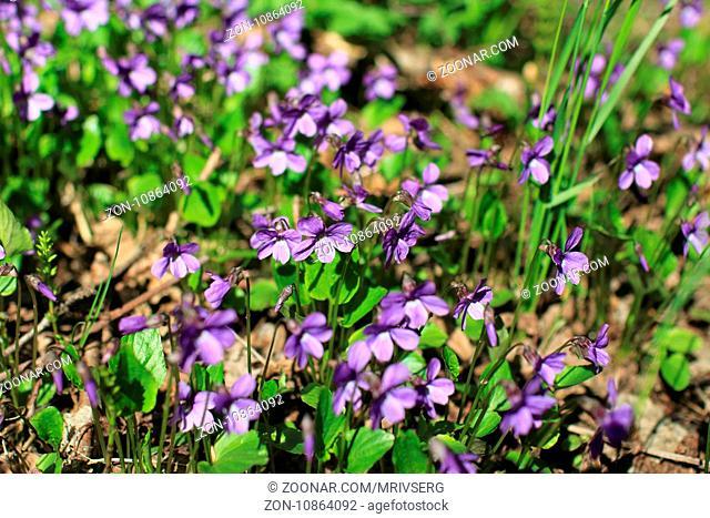 violets spring primrose among last year's leaves