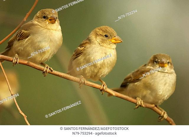 House Sparrow (Passer domesticus). Sierra de Puertollano, Ciudad Real province, Castilla-La Mancha, Spain
