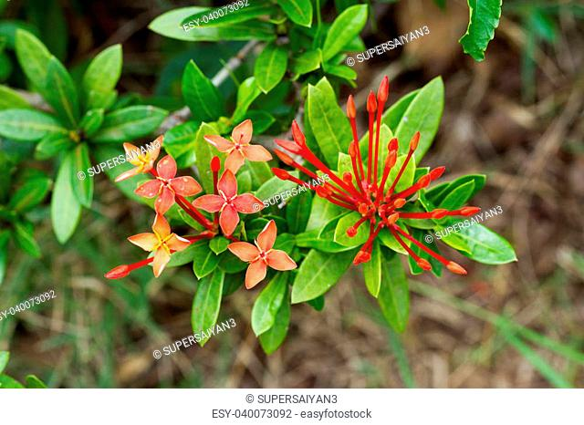Tropical flowers Red Ixora coccinea (or Jungle Geranium, Flame of the Woods, and Jungle Flame) Blur background