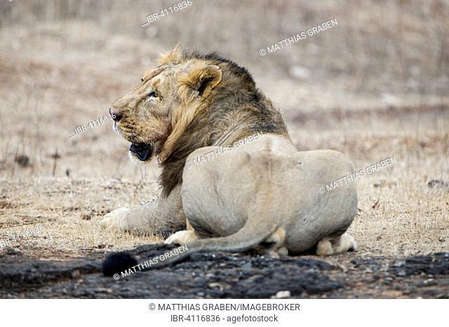 Asiatic lion (Panthera leo persica), male, from behind, Gir Interpretation Zone or Devalia Safari Park, Gir Forest National Park, Gir Forest National Park