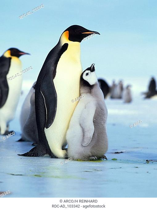 Emperor Penguin with chicks Antarctica Aptenodytes foresteri