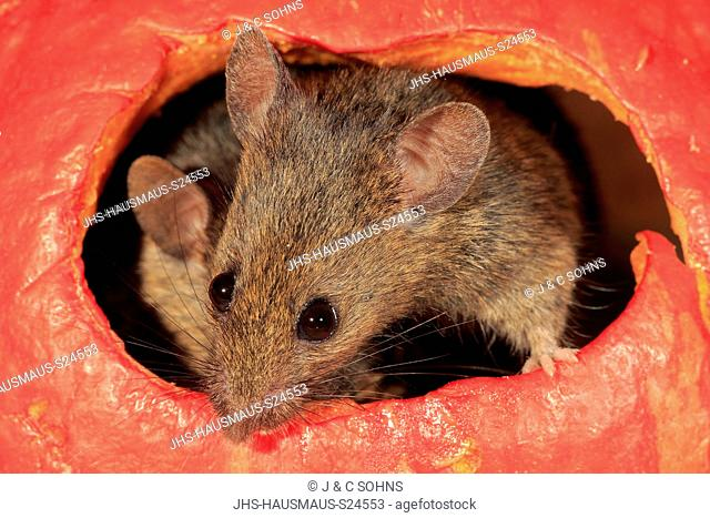 House Mouse, (Mus musculus), two adult mice looking out of pumpkin, Ellerstadt, Rhineland Palatinate, Germany, Europe