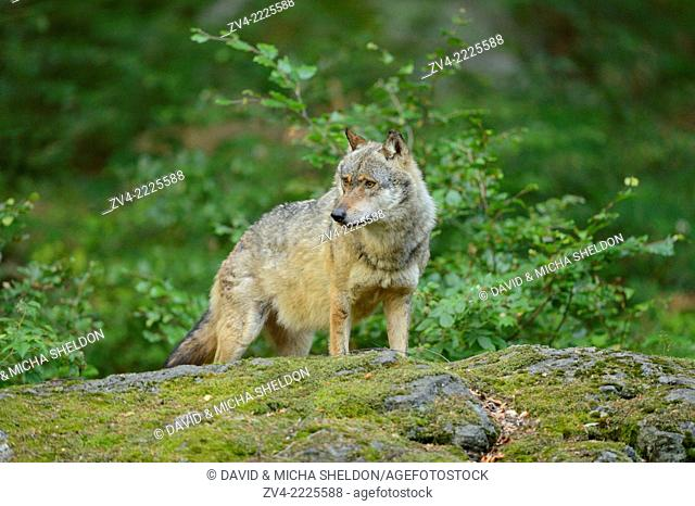 Close-up of a Eurasian wolf (Canis lupus lupus) in a forest in early summer