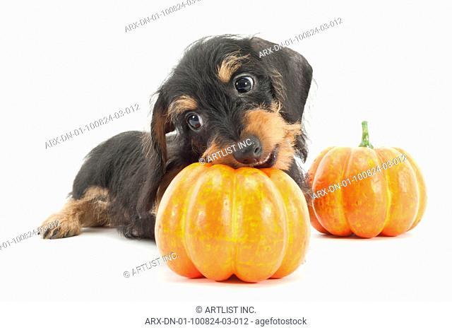 A puppy with a pumpkin