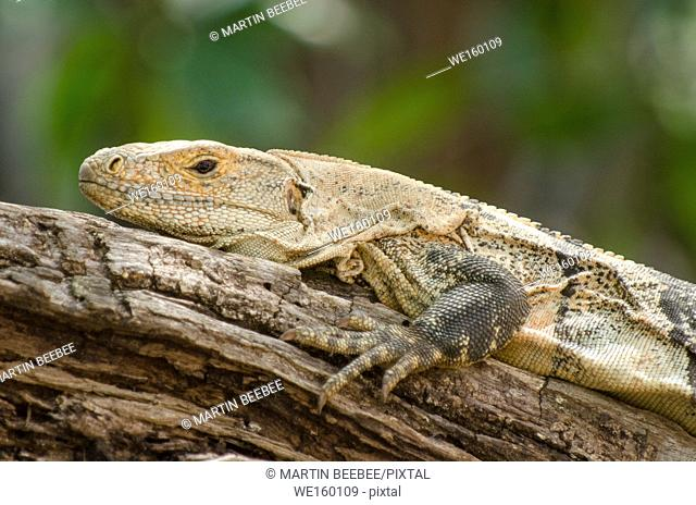 Spiny-tailed Iguana (Ctenosaura similis), Playa Grande, Guanacaste, Costa Rica