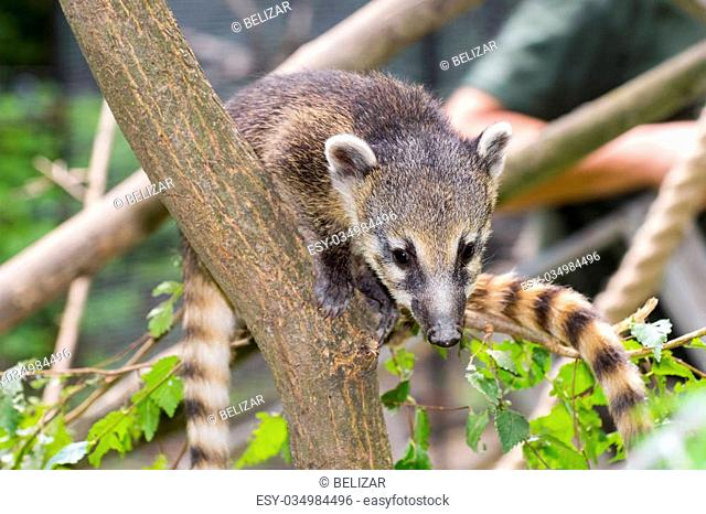South American coati (Nasua nasua) baby is climbing on a tree
