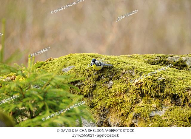 Close-up of a Great Tit (Parus major) in a forest in spring
