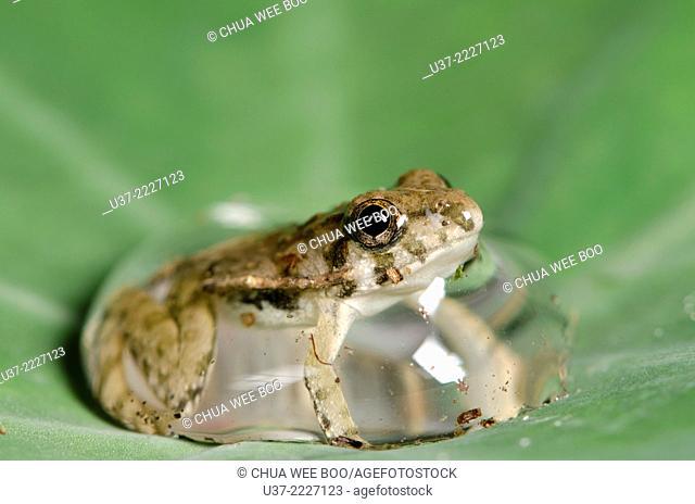 Frog in water droplet. Image taken taken Kampung Skudup, Sarawak, Malaysia