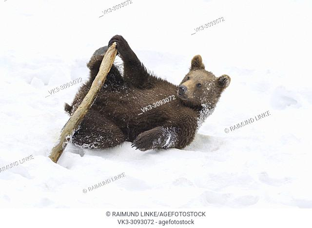 Brown bear, Ursus arctos, Cub playing with branch in winter, Germany