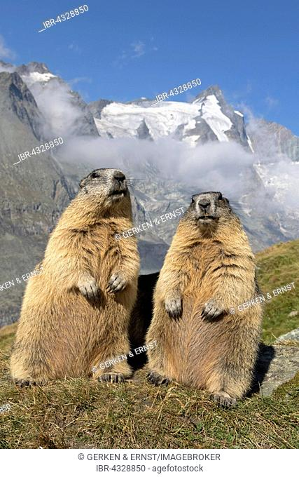 Alpine marmot, marmots (Marmota marmota) in front of Grossglockner, High Tauern National Park, Austria