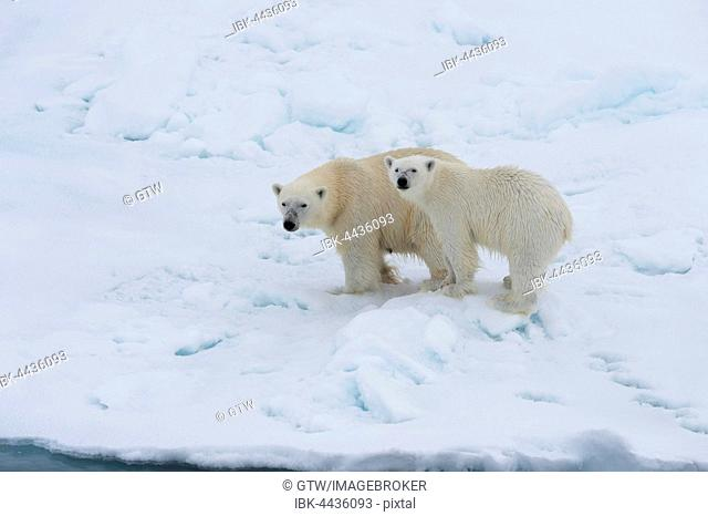 Polar bears (Ursus maritimus), mother with cub on edge of melting ice floe, Spitsbergen Island, Svalbard archipelago, Norway