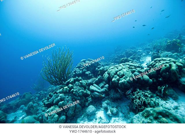 Underwater landscape at Bonaire with sea rod and corals, Dutch Antilles