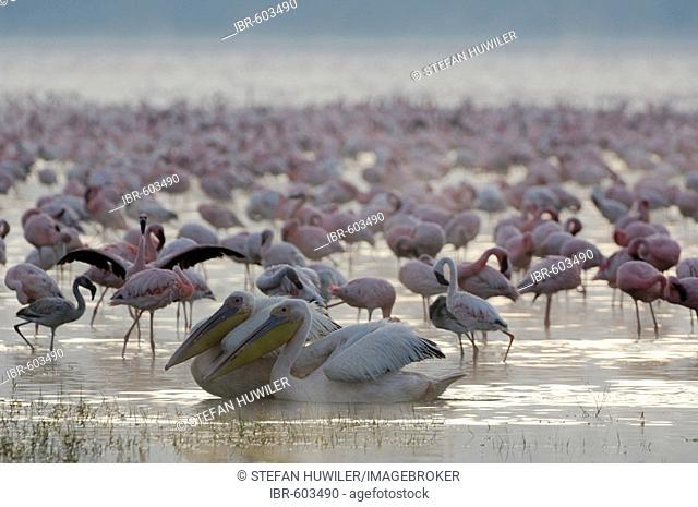 Morning mood at Lake Nakuru with 2 White pelicans (Pelecanus onocrotalus) in the foreground, Lake Nakuru, Kenya, Africa