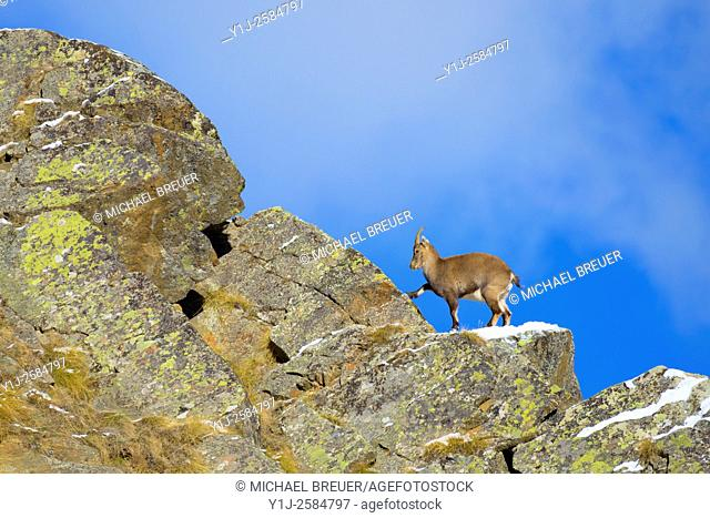Alpine Ibex (Capra ibex), Female, Gran Paradiso National Park, Alps, Italy, Europe