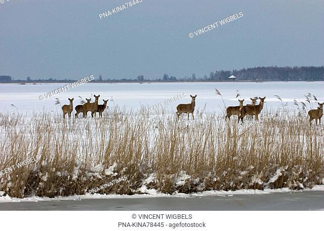 Red Deer Cervus elaphus - Oostvaardersplassen, Lelystad, Flevopolder, Flevoland, The Netherlands, Holland, Europe