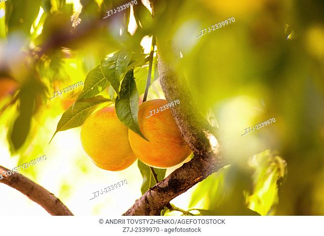 two ripe peaches on a branch