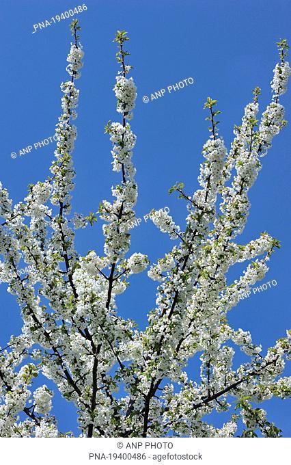 Apple tree Malus spec. - Borgloon, Haspengouw, Hesbaye, Limburg, Flanders, Belgium, Europe
