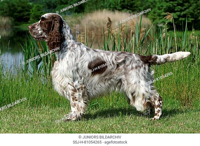 English Springer Spaniel. Adult male (3 years old) standing next to a lake. Germany