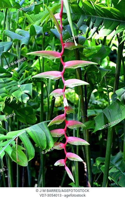 Sexy pink (Heliconia chartacea) is an ornamental plant native to tropical South America. Inflorescence detail